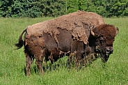 North American Plains Bison - Bull