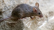 Mouse (Mus musculus)