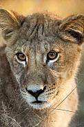 Lion cub - Okavango Delta - Botswana