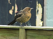 Juvenile blackbird on a fence