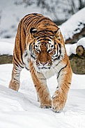 Amur Tiger, snow.
