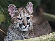Young Puma
