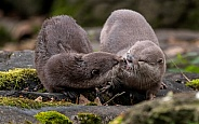 Asian Short Clawed Otters Kissing