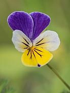 Macro of a Viola Flower