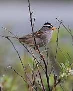 White-crowned Sparrow Perched on a Branch