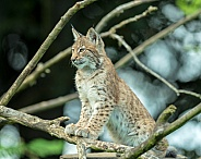 Lynx cub