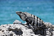 Iguana in Cozumel