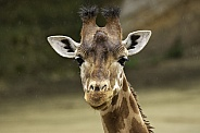 Giraffe Face Shot Close Up