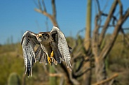 Falcon - Prairie Falcon in Flight