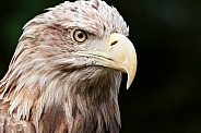 White Tailed Fish Eagle Face Shot Close Up