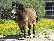 Miniature horse running in the arena