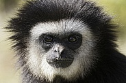 Lar Gibbon Close Up Face Shot