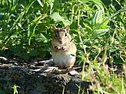 Chipmunk in Garden
