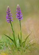 Fragrant Orchid