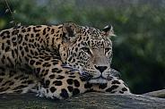 North Persian Leopard