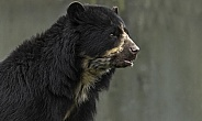 Andean Bear Close Up Head Shot Mouth Open