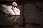 Coscoroba Swan Swimming Reflection In Water