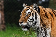 Amur Tiger Side Profile