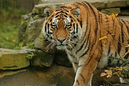 Amur Tiger Looking At Camera Around Bush