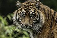 Sumatran Tiger Close Up Looking At Camera