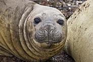 Southern Elephant Seal - Falkland Islands