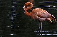 Caribbean Flamingo Standing In Water Full Body