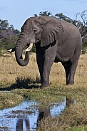 Young male African Elephant