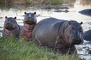 Pod of Hippopotamus - Botswana