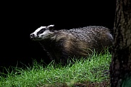 Wild European badger