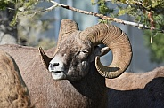 Big Horn Sheep, ram