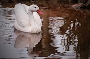Coscoroba Swan Full Body Swimming