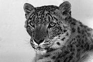 Snow Leopard Close Up Black and White