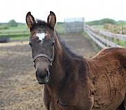 Thoroughbred Foal 3