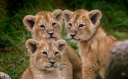 Triplet Lion Cubs