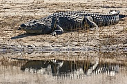 Nile Crocodile - Chobe River - Botswana