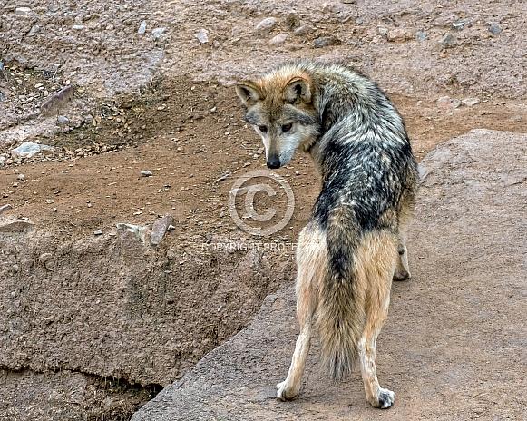 Mexican Grey Wolf - Female