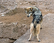 Mexican Grey Wolf - Female