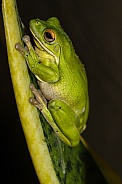 White Lipped Green Tree Frog
