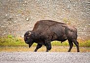 Bison standing beside the Alaska Highway