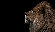 African Lion Side Profile Black Background