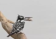 Pied kingfisher (Ceryle rudis) Wild
