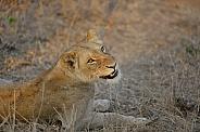 African Lioness (wild)