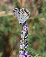 Common Blue Butterfly On Lavender