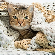 Tabby Cat in Blanket