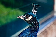 Male Peacock or Peafowl