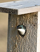 Tree Swallow Peeking Out from the Nest Box