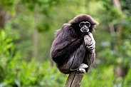 Portrait of a white handed gibbon sitting in a tree
