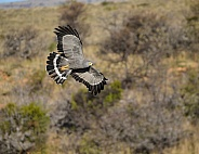 Gymnogene/African Harrier Hawk