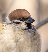Tree sparrow portrait