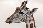 Young Giraffe Side Profile Head Shot